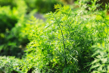 Good green organic dill in farmer's garden for food.Young dill plants grows in the open ground. Fragrant dill leaf growing. Dill herb leaf background harvest.
