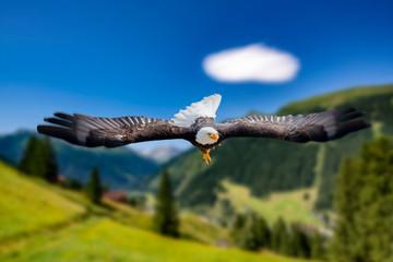 Adler fliegt mit ausgebreiteten Schwingen in großer Höhe an einem sonnigen Tag direkt auf den Fotografen und Betrachter zu.