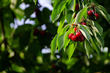 Foto auf Leinwand Kirschblüte Cherry tree in the sunshine - sick cherry tree - moldy fruits on the tree