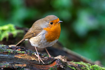 Zelfklevend Fotobehang Vogel Robin redbreast ( Erithacus rubecula) bird a British garden songbird with a red or orange breast often found on Christmas cards
