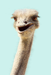 Photo sur Aluminium Autruche Close-up ostrich's head smiling funny kind on a white