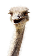 In de dag Struisvogel Close-up ostrich's head smiling funny kind on white
