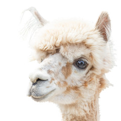 Portrait of an Alpaca lama isolated smiling on a white