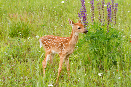 White Tailed Deer Fawn Standing in Front of Purple Lupine