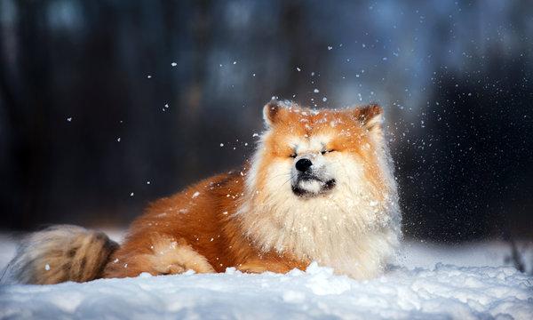 funny akita inu dog lying down on the snow