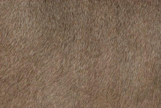 Bright braun short beauty shiny cow skin texture