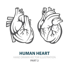Human heart. Human heart hand drawn vector illustrations set. Heart in engraving style. Realistic human heart sketch drawing. Part of set.