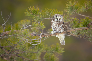 Foto op Canvas Uil Boreal owl (Aegolius funereus) is a small owl. In Europe, it is typically known as Tengmalm's owl after Swedish naturalist Peter Gustaf Tengmalm