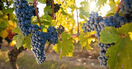 Grappe de raisin noir dans les vignes. Vin et vignoble français. Fototapete