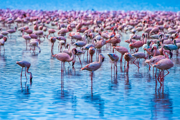 Foto auf Acrylglas Flamingo African greater Flamingos. Pink flamingos on a background of water. Flock of flamingos stand in the blue sea. Graceful birds at a watering hole. Kenya. Safari Africa. Fauna of the African continent