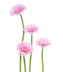 Vertical pink gerbera flowers with long stem isolated over white background. Spring bouquet. .