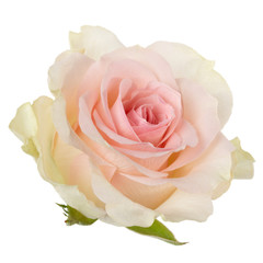 Pink rose isolated over white background closeup. Rose flower head in air, without shadow. Top view, flat lay..