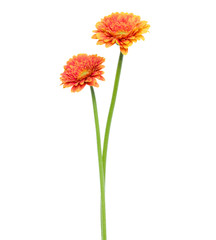 Door stickers Gerbera two Vertical orange gerbera flowers with long stem isolated over white background.