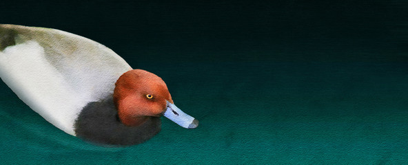A redhead duck is seen in a photograph that has been given a watercolor effect with a textured surface, The duck floats on a body of green and cyan water.