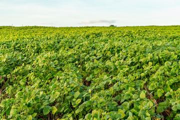 The Mung bean crop in agriculture garden. Fotomurales