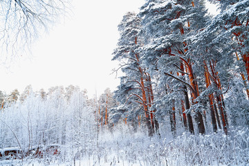 Snow covered trees in a winter forest