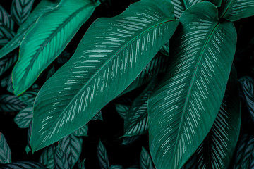 Calathaea picturata, abstract green leaf texture, nature background, tropical leaf
