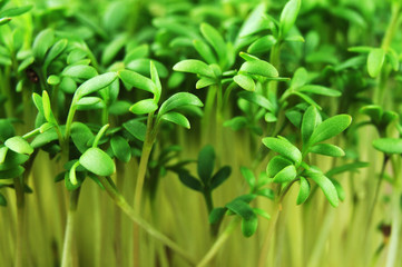 fresh green leaves of aromatic cress sprouts