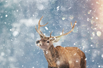 Photo sur Aluminium Cerf Beautiful stag deer in heavy winter and snowfall.