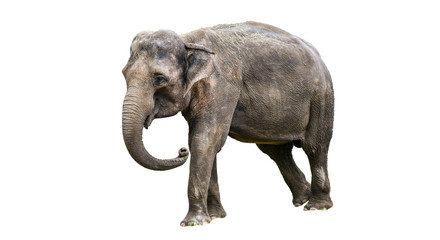 Tuinposter Olifant Young elephant isolated on white background.
