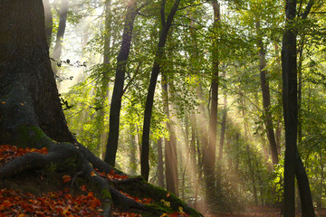 Sun rays appearing beside a beech tree in a forest after a rain shower in autumn