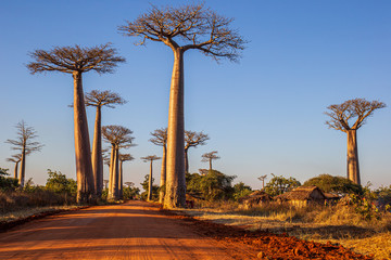 Poster Baobab The amazing Baobab Alley in Madagascar