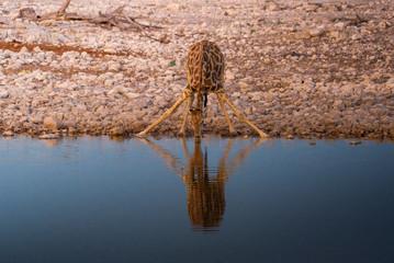 Giraffe drinks water at sunrise in Etosha National Park, Namibia