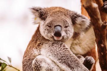 Photo Stands Koala Koala Koalabär sonnt sich im Baum