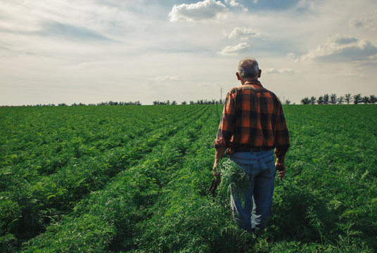 Senior farmer standing in field examining the carrots in his hands.