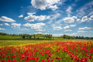 Photo sur Aluminium Pres, Marais Spring in Tuscany rolling fields in Pienza Firenze Siena Italy
