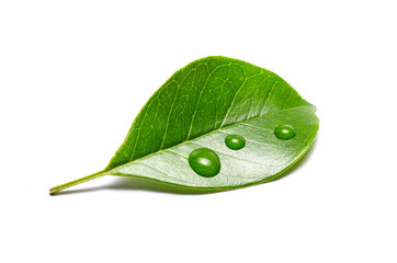 green leaf with water drops isolated on white background