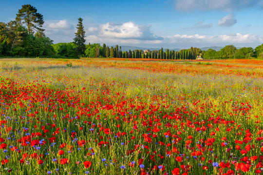 Spring Meadow Filled with Poppies, Pienza, Val d'Orcia, Tuscany, Italy.