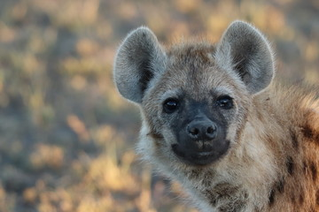 Photo sur Plexiglas Hyène Young spotted hyena (crocuta crocuta) face closeup.