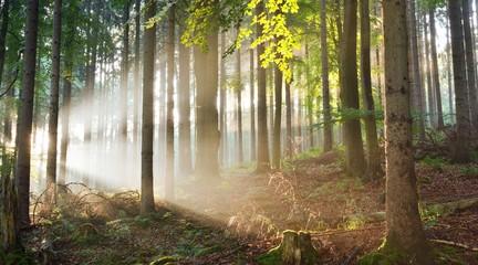 Fond de hotte en verre imprimé Coucher Sun rays in a fog in a misty morning green forest. Osnabruck, germany