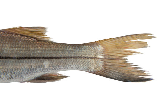 Tail of Snook or Bouche sea fish Trinidad Caribbean Isolated