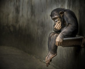Zelfklevend Fotobehang Aap Chimpanzee sitting on a metal rusty sink in a weathered cage contemplating about something deep