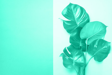 Green monstera leaves on mint color background with copy space. Trendy green and turquoise color. Minimal design. Exotic plant. Creative summer flat lay. Pop art trend. Banner