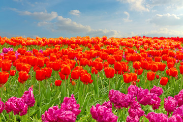 Poster de jardin Rouge Tulip red and pink flowers field with blue sky, Holland, The Netherlands.