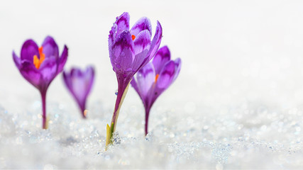 Poster Krokussen Crocuses - blooming purple flowers making their way from under the snow in early spring, closeup with space for text