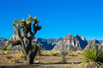 A large, healthy Joshua Tree and a striking mountain in Nevada's Mojave Desert