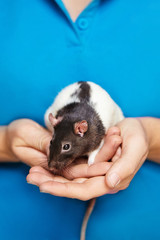 Close up of person holding black and white pet rat