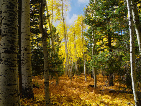 The beauty of a Flagstaff, Arizona forest in Autumn.