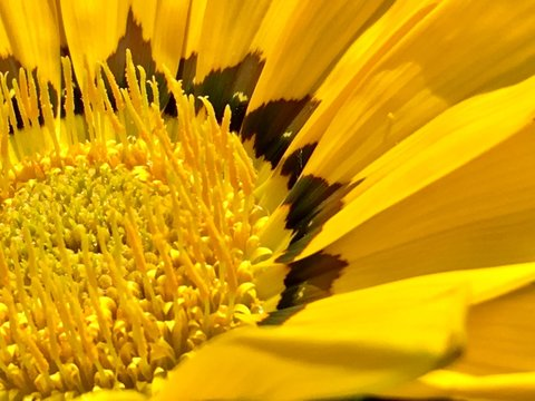 Closeup of a big sunflower