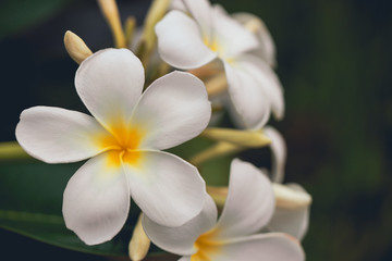 Spoed Fotobehang Frangipani White plumeria flowers. Plumeria flowers bloom on the trees in the garden with copyspace.