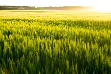 Beautiful sunset and wheat field. Fotomurales
