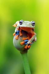 Fotorolgordijn Kikker flying tree frog, javan tree frog, rhacophorus reinwardtii