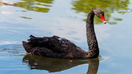 Tuinposter Zwaan Cygnus atratus ou cygne noir nageant avec graciosité le long d'un plan d'eau