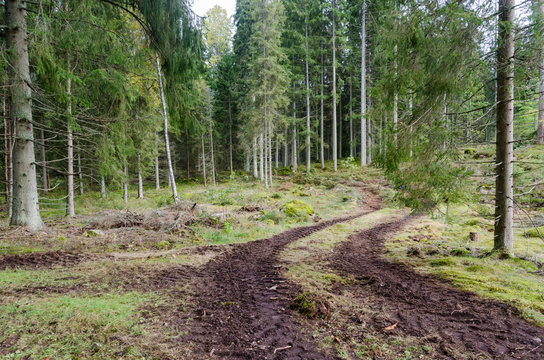 Winding tractor tyre tracks in a spruce tree forest