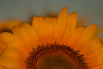 Fotobehang Zonnebloem Sunflowers in the rays of the rising sun