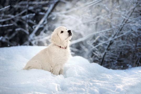 golden retriever puppy sitting in the snow